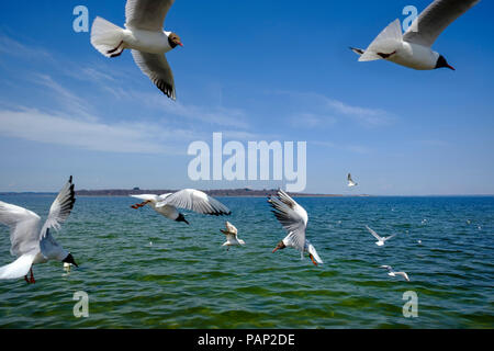 Germany, Bavaria, Upper Bavaria, chiemgau, Chiemsee with Fraueninsel, flying seagulls - Stock Photo
