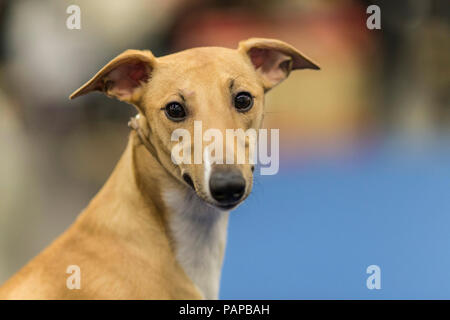 English Whippet. Portrait of adult. Germany - Stock Photo