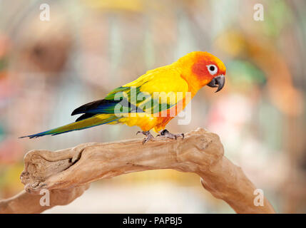 Sun Conure (Aratinga solstitialis). Adult standing on a branch. Germany - Stock Photo