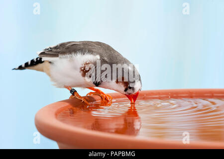 Zebra Finch (Taeniopygia guttata). Adult bird bathing in a dish. Germany - Stock Photo
