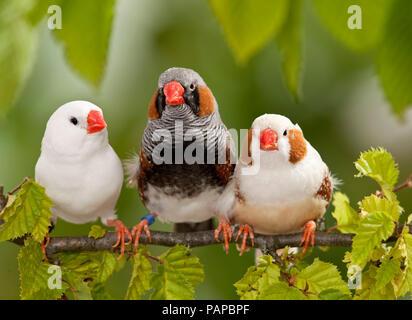Zebra Finch (Taeniopygia guttata). Three adult birds perched on a twig. Germany - Stock Photo