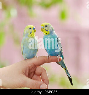 Rainbow Budgerigar, Budgie (Melopsittacus undulatus). Two adults perched on a finger. Germany - Stock Photo