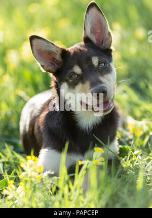 Australian Working Kelpie. Juvenile dog lying in a flowering meadow, with head cocked. Germany. - Stock Photo