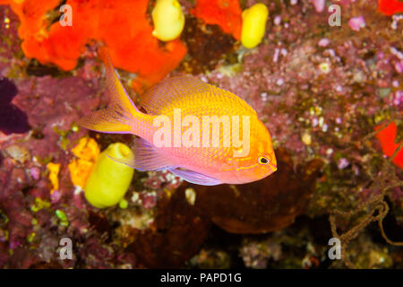 The hawkfish anthias, Serranocirrhitus latus, is a more solitary member of this family and can often be found swimming upside down in caves, Fiji.  Ot - Stock Photo