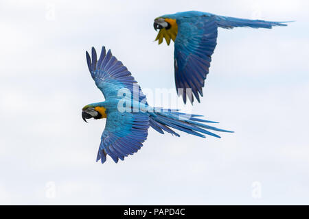 Tropical birds in flight. Blue and yellow gold Macaw parrots flying. Beautiful South-American wildlife and nature image with macaws naturally isolated - Stock Photo