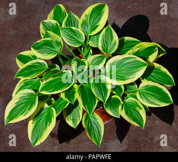 The Hosta showing its beautiful display of leaves with white fringes around each leaf all in a pot. - Stock Photo