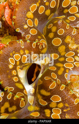 Giant tridacna clam, Tridacna gigas, mantle detail.  Yap, Micronesia. - Stock Photo