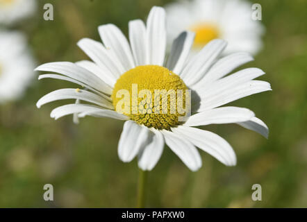 Pretty perfect flowering common daisy blossom. - Stock Photo