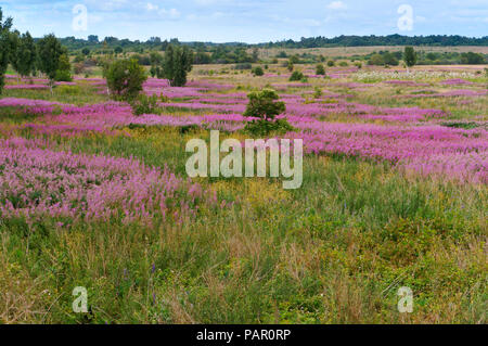 medicinal plant Ivan tea, wildflowers, landscape field in flowers - Stock Photo