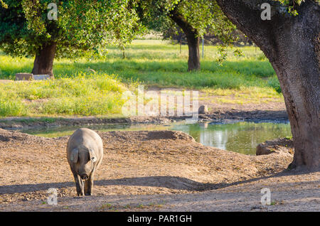 portrait of Iberian pig herd (pata negra) in a flower field - Stock Photo