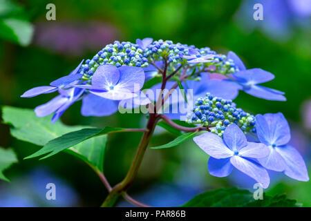 Blue mountain hydrangea (Hydrangea serrata), blossom, Germany - Stock Photo