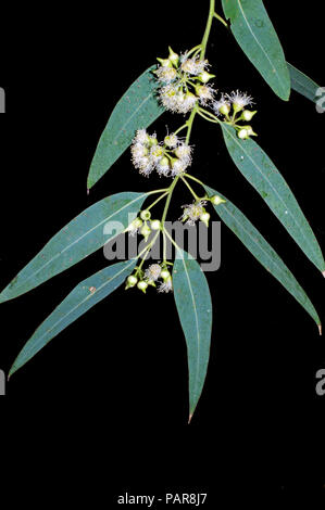 Eucalyptus leaves and flowers close-up - Stock Photo