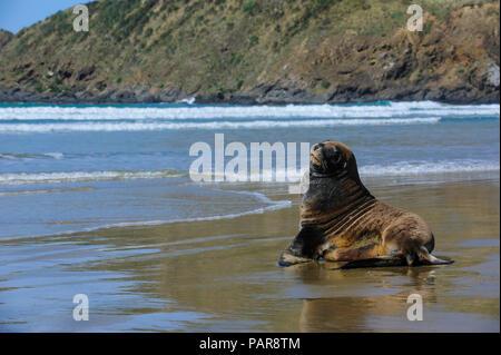 Hooker's Sea Lion (Phocarctos hookeri) at beach, Cannibal bay, the Catlins, South Island, New Zealand - Stock Photo