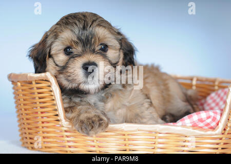 Havanese, puppy 8 weeks, lies in dog basket, studio shot - Stock Photo