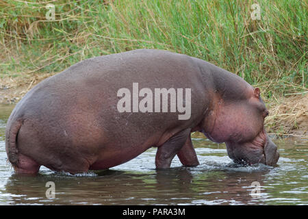 Hippopotamus (Hippopotamus amphibius) going out of the water of the Olifants River, Kruger National Park, South Africa - Stock Photo
