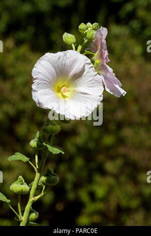 A white Common hollyhock - Stock Photo