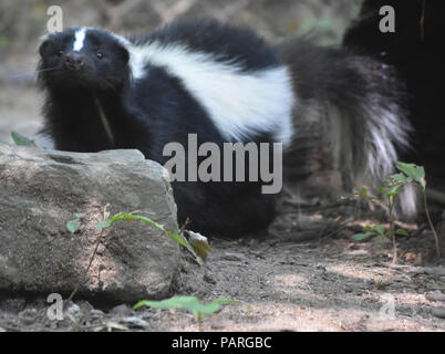 Skunk with a cute wiggling black nose. - Stock Photo