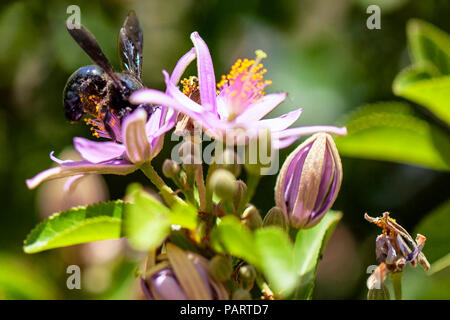 Close up of wild black and shiny violent Carpenter Bee (genus xylocopa) in nectar collecting pollen from a purple flower - Stock Photo