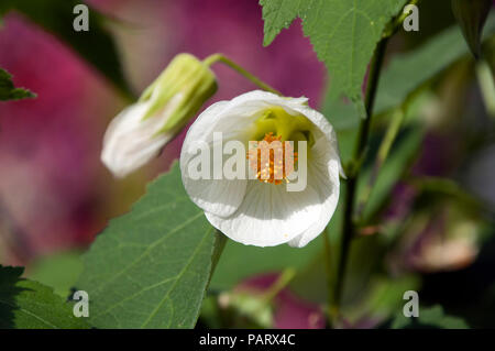 Sydney Australia, white chinese bell flower - Stock Photo