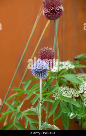 Echinops ritro veitchs blue and Allium 'Red mohican'. Globe thistle and ornamental onion flowers in a flower show garden. UK - Stock Photo
