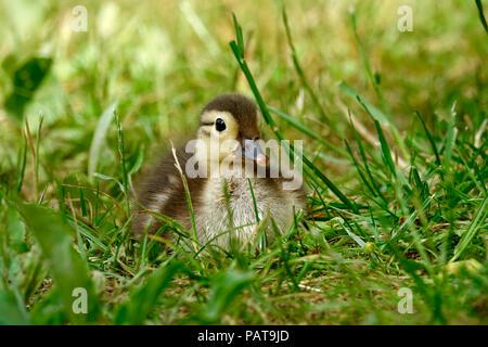 Mandarin duck, chick - Stock Photo