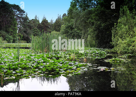 A pond in Farmleigh West Dublin, Ireland with a mass of water lilies surrounded by trees and other aquatic plants. - Stock Photo