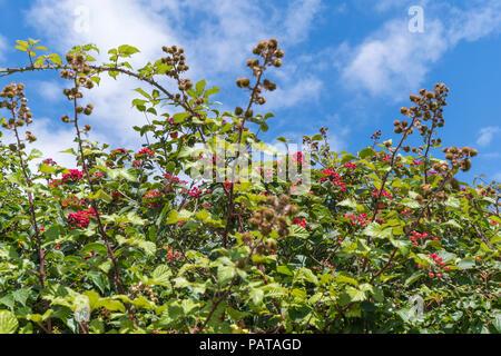 Viburnum shrub, likely Viburnum lantana (AKA the Wayfarer or Wayfaring tree) with red berries against blue sky in Summer (July)in West Sussex, UK. - Stock Photo