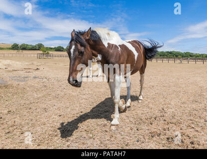 Brown horse walking in a dried up field with brown grass due to lack of rain, on a hot day in Summer in West Sussex, England, UK. - Stock Photo