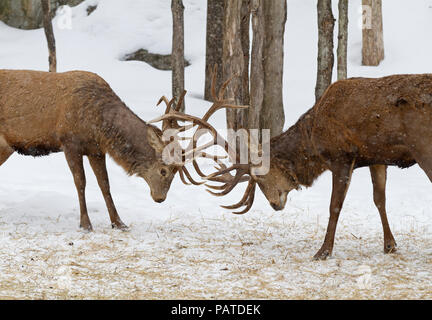 Two Bull Elk fighting with each other in the snow in Canada - Stock Photo
