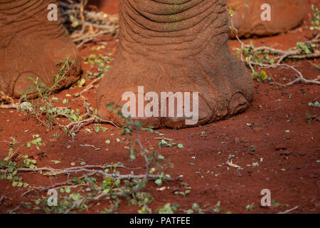 Close up of an African elephant's foot Loxodonta africana in a private game reserve in South Africa - Stock Photo