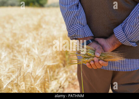 Farmer or agriculturist man holding some wheat ears behind his back in field and walking along the way on the border of field - Stock Photo