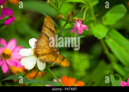 Julia Longwing Butterfly on flower top view - Stock Photo