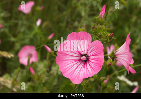 Annual mallow, rose mallow or royal mallow (Lavatera trimestris) bright rose flowers. A wild plant of Malvaceae family. Arrabida Nature Park, Portugal - Stock Photo