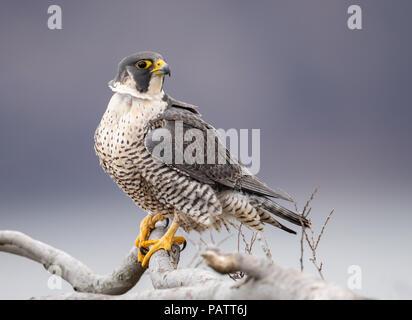 Peregrine Falcon Portrait - Stock Photo