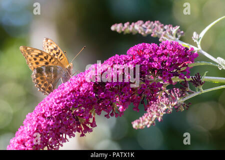 Silver washed fritillary, Argynnis paphia, nectaring on the flowers of the butterfly bush, Buddleja davidii 'Buzz Magenta' - Stock Photo