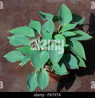 Naturally grown beautiful hosta in a pot ready to go to the gardenner for planting. - Stock Photo