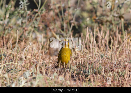 European greenfinch looking to the camera camouflaged among grass in spring. North of Portugal. - Stock Photo