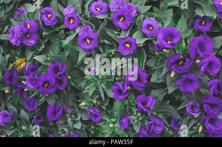 top view of Pink blooming Lisianthus flowers on green leafs background - Stock Photo