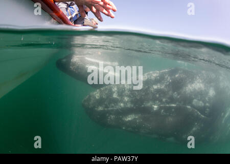 California gray whale mother and calf, Eschrichtius robustus, underwater with excited tourists in San Ignacio Lagoon, Baja California Sur, Mexico - Stock Photo