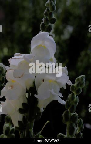 Antirrhinum majus (Löwenmaul) (Snapdragon) (Muflier à grandes fleurs) - Stock Photo