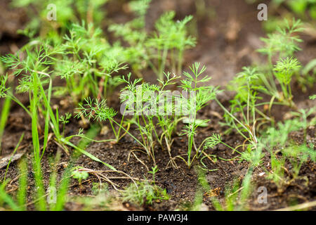 young green shoots of dill growing in the soil. Agriculture background - Stock Photo