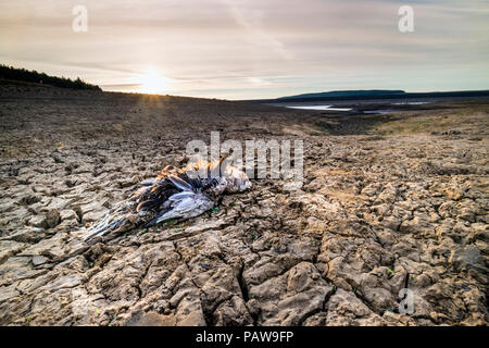 Selset Reservoir, Lunedale, County Durham. Wednesday 25th July 2018. UK Weather.  With temperatures expected to reach 33 degrees centigrade in some parts of the UK, not only do humans suffer in the heat, but so do animals.  In northern England the sad remains of a desiccated bird lying on the sun-baked shores of Selset Reservoir creates a scene more reminiscent of the African plains than the North Pennines. David Forster/Alamy Live News - Stock Photo