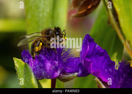 Bee gathering pollen from a purple  ephemere flower - Stock Photo