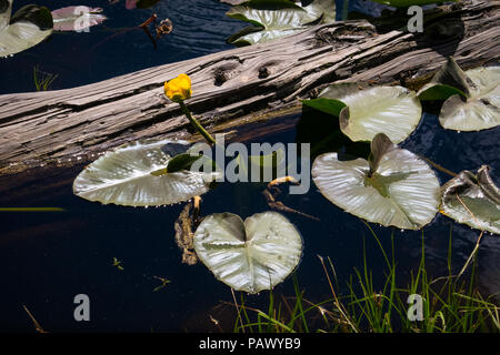 Floating flower in Alpine Mosquito Lakes - Pacific Grade Summit on Highway 4, California - Stock Photo