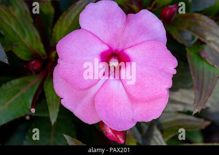 beautiful pink New Guinea impatiens flowers in summer garden. - Stock Photo