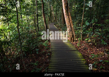 Mossy, wooden hiking path cutting through the foliage at Macritchie Park, in the Singapore jungle - Stock Photo