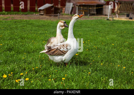 Pair of domesticated geese on a farm. - Stock Photo