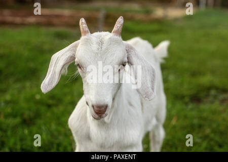 Closeup - head of young goat kid on green grass, looking straight to camera. - Stock Photo