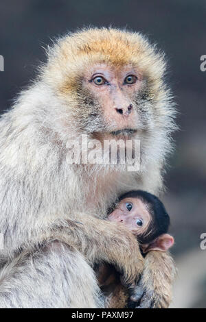 Barbary Macaque (Macaca sylvanus), adult female with a cub - Stock Photo