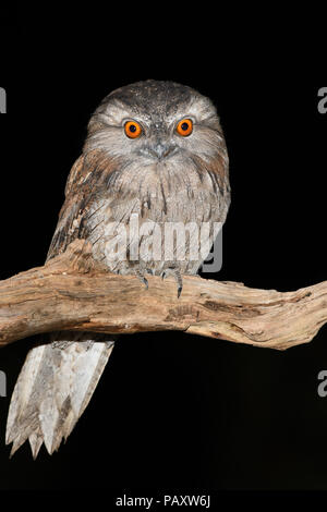 Tawny Frogmouth female perched at night - Stock Photo